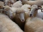 sheep-300x225[1]