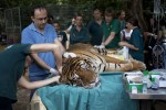 Mideast Israel Tiger Acupuncture
